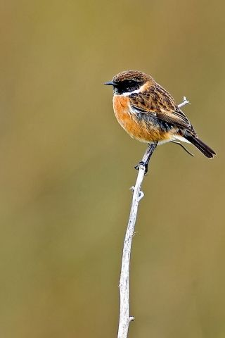 Stonechat. Stonechats are robin sized birds. Males have striking black heads with white around the side of their neck, orange-red breasts and a mottled brown back. Females lack the male's black head, but have brown backs and an orange tinge to their chests. Birds are frequently seen flicking their wings while perched, often doing so on the tops of low bushes. As its name suggests, birds utter a sharp loud call that sound like two stones being tapped together.