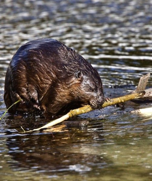 BEAVERS: Originally seen as pests, beavers were almost hunted to extinction in the 1800s. Luckily, the numbers have rebounded and beaver protectors are reintroducing the animals into parts of nature in need of a little regulation. The gnawing and damming behavior of beavers has many benefits to the Earth. These animals help prevent floods, droughts and forest fires.