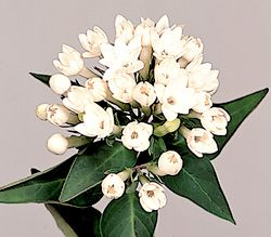 Flowers in Season: Bouvardia (meaning: enthusiasm)