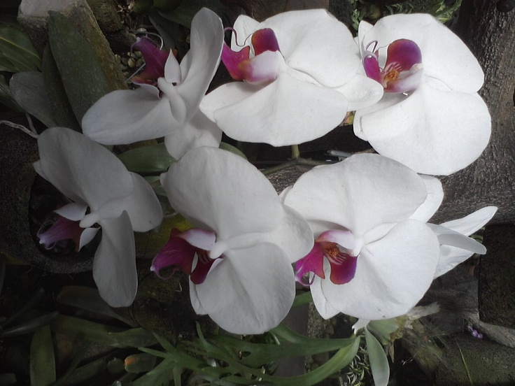 orchid like snow