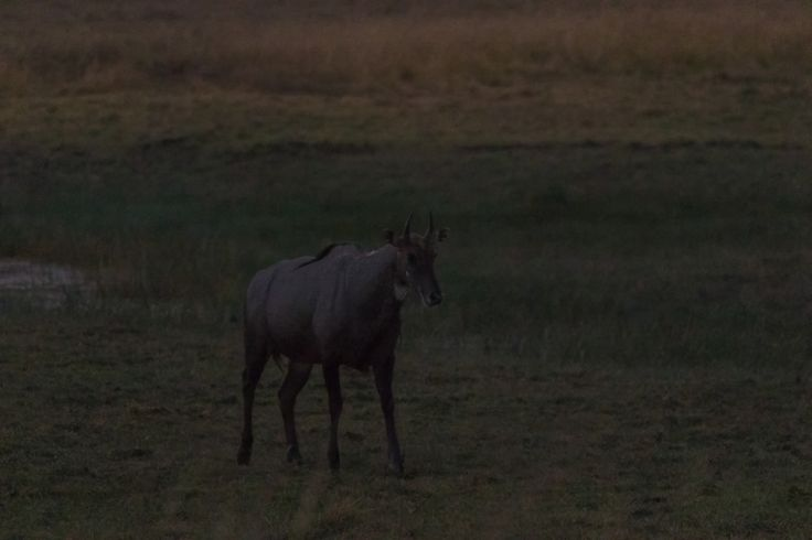 """siddharthx posted a photo:  all shot in quickly fading light and fairly high ISO.  The nilgai or blue bull (Boselaphus tragocamelus) (pronounced /ˈnɪlˌgaɪ/, literally meaning """"blue cow"""") is the largest Asian antelope and is endemic to the Indian subcontinent. The sole member of the genus Boselaphus, the species was described and given its binomial name by German zoologist Peter Simon Pallas in 1766. The nilgai stands 1–1.5 metres (3.3–4.9 ft) at the shoulder; males weigh 109–288 kilograms…"""