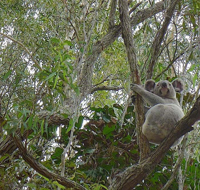 Coombabah Conservation Lakelands is full of wildlife, saw this koala in the tree and many more, just beautiful..  http://walkingthegoldcoast.com/wetlands/coombabah-lakelands-conservation-area