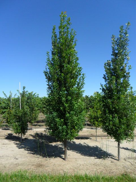 Schwope Brothers Tree Farms Oak Trees Columnar Trees