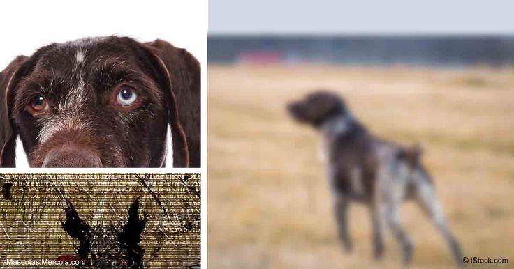El Drahthaar Alemán de Pelo Duro es una raza trabajadora conocida por su olfato, agilidad, obediencia, rescate y búsqueda, y mucho más. http://mascotas.mercola.com/sitios/mascotas/archivo/2017/08/24/raza-de-perro-drahthaar-aleman.aspx