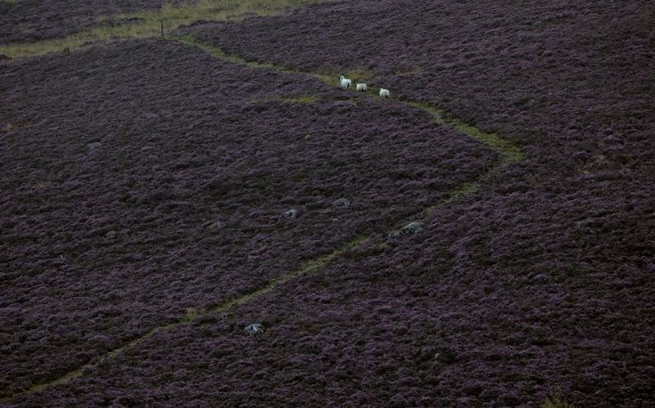 Sheep move through heather near Kirkton of Glenisla