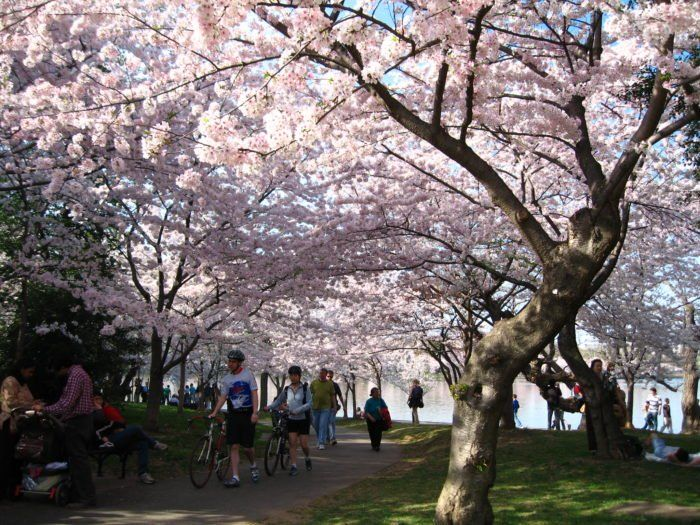 The Georgia Cherry Blossom Festival Will Have Over 300 000 Trees In Bloom This Spring Cherry Blossom Festival Cherry Blossom Festivals In Georgia