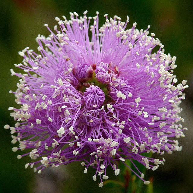 Myrtaceae - Western Australia Showy Honey-myrtle, Pink Melaleuca