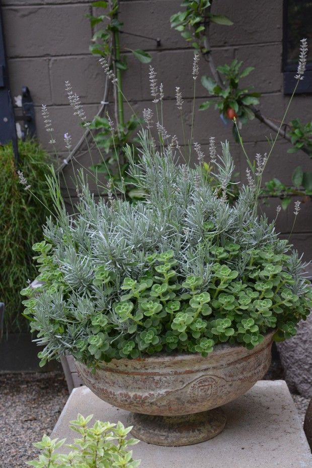 Edible Landscaping: Container Garden with lavender | jardin d'herbes aromatiques #containergardeninglavender