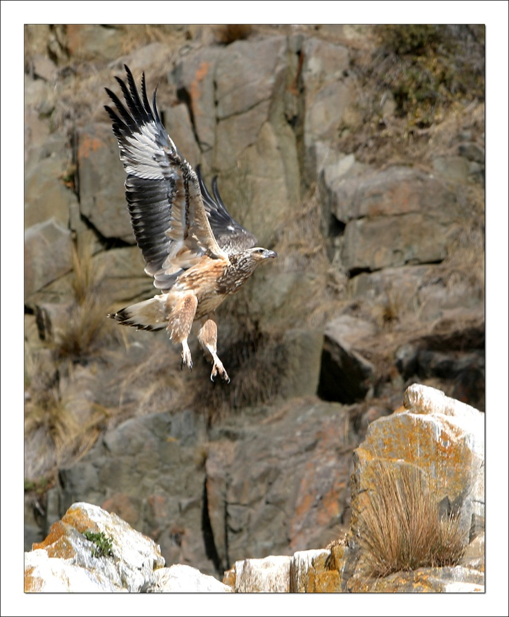 Eagle Soaring High above the South Bruny National Park - Photo Credit: Drew Gibson