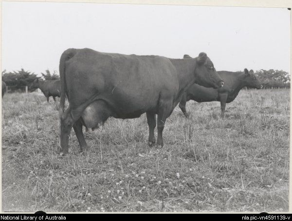 Electricity, world champion Red Poll cow at Victoria State Experimental Dairy Farm, Werribee, Victoria [picture].