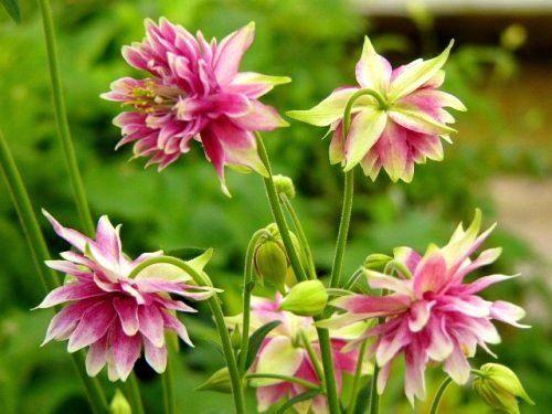 """Ancolie """"Nora Barlow"""", vivace à placer au soleil ou mi-ombre pour fleurs coupées ou en massif"""