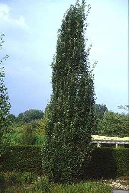 Quercus robur 'Fastigiata Koster' zomereik, zuileik Hoogte : 800 - 1500 cm Bijzondere kenmerken : Bloemkleur : geelgroen Bloeiperiode : mei - Bloemen : katjesachtige bloemen Bladkleur : donkergroen Wintergroen : neen Bladeren : 10 cm lang Vruchten : eikels standplaats en vereisten Standplaats : zonnig Vochtigheid : normaal,nat Zuurtegraad : kalkrijk,neutraal Zoutbestendig : ja Winterhard : ja onderhoud snoei wordt goed verdragen