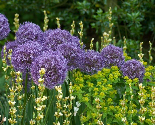 Alliums and euphorbia in the long border, East Ruston Gardens