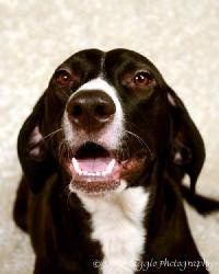 Emmie is an adoptable Weimaraner Pointer Mix Dog in Livonia, MI. You can fill out an adoption application online on our official website. If interested in any of our animals for adoption, or to foster an animal, ...