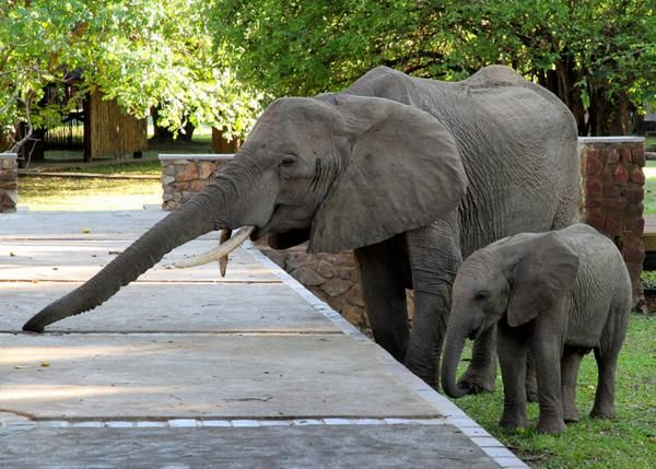 mommy elephant visiting Mfuwe Lodge looking for wild mango #Safari2AfricaTravel