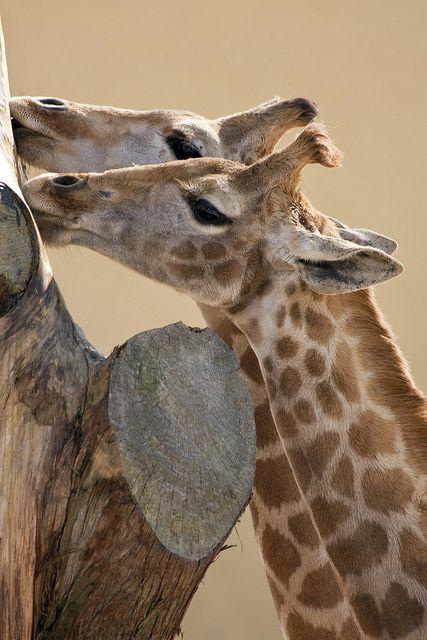 Giraffe  Happy Feelings