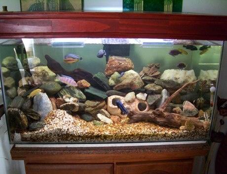 acuario de cíclidos africanos