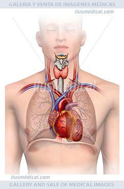 El sistema cardiorespiratorio. Ilustración de figura humana en la que se representa la ..