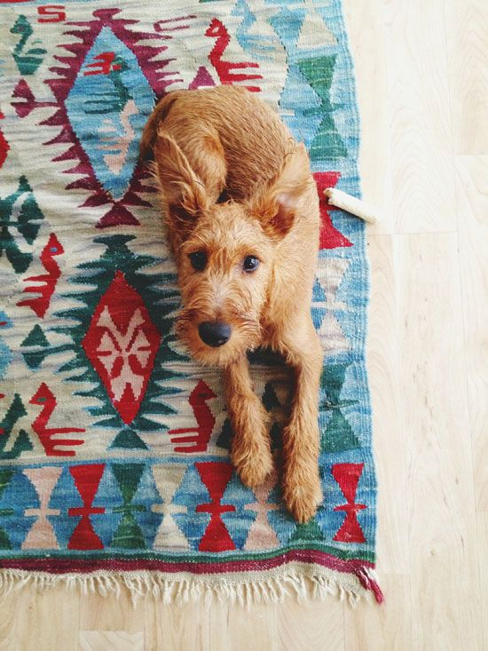Irish terrier puppy, rug, colour, home, pet, cute, dog, pup, photography