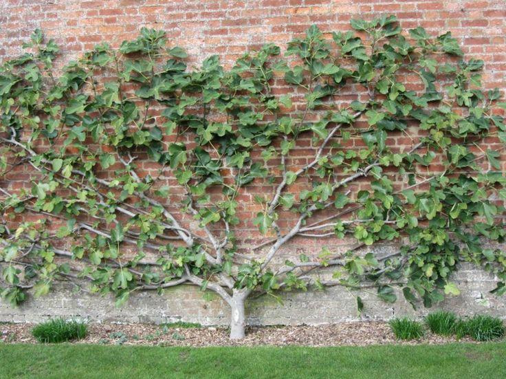 the 25+ best feigenbaum pflanzen ideas on pinterest | feigenbaum, Gartenarbeit ideen