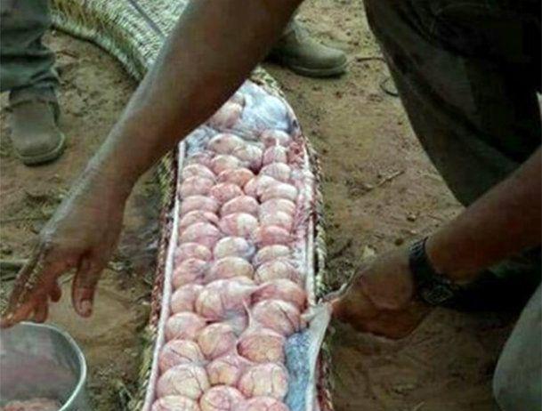 Des dizaines et des dizaines d'oeufs ont été retrouvés dans un serpent tué alors qu'on le soupçonnait de s'être attaqué au bétail des agriculteurs.
