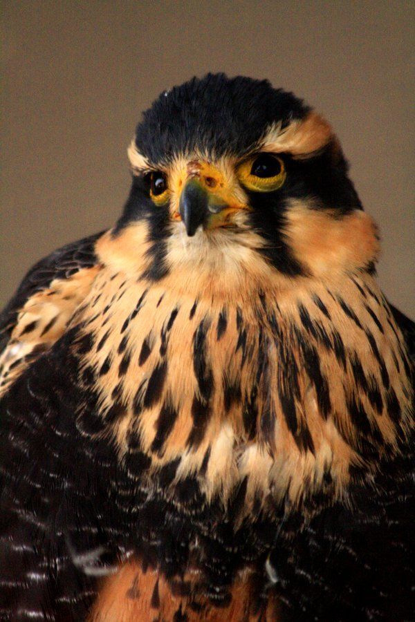 A Hobby. These European falcons are so small they can hunt and catch dragonflies on the wing.