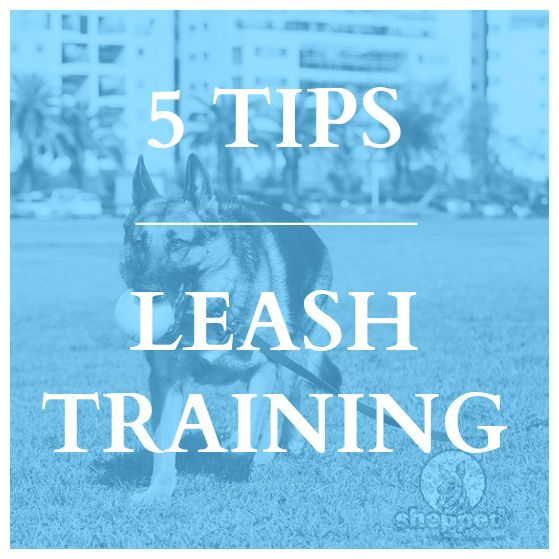 Do you want to walk walk your #GSD on a leash without pulling it? Read our tips -> https://www.shepped.com/leash-training/ #germanshepherd #gsd #dog #dogtraining