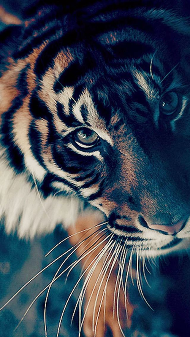 Bengal Tiger Face Closeup #iPhone #5s #wallpaper