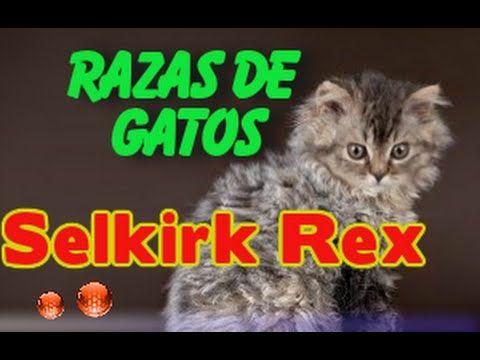 el gato Selkirk Rex | Caracteristicas del Gato Selkirk Rex - YouTube