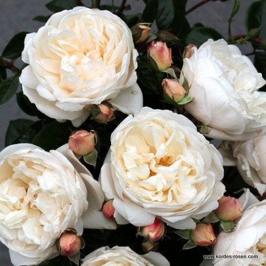 KORDES Rosen Summer Memories ® - Gartenrosen Die schönsten Rosen der Welt