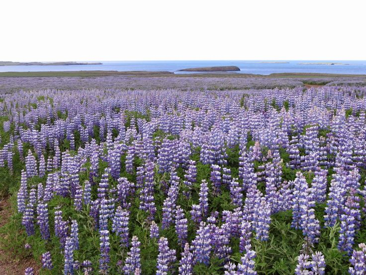Painting My World: Iceland: Through the Eye's of an Artist part 8 How to Paint the Lupines