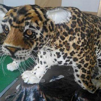 Replika macan tutul Kulit yang digunakan adalah kulit kambing
