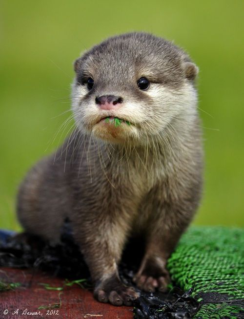 Did we already pin this guy, or do all otters just look equally cute? I like how he is eating some of the green stuff.