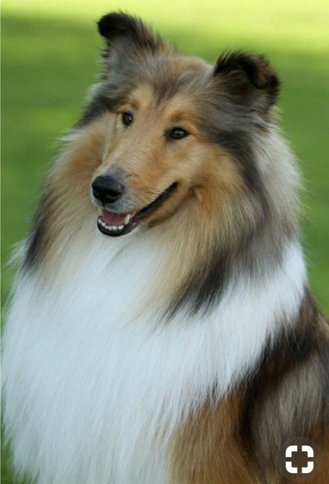 Pin Von Maaike W R Auf Dieren Hunde Collie Hund