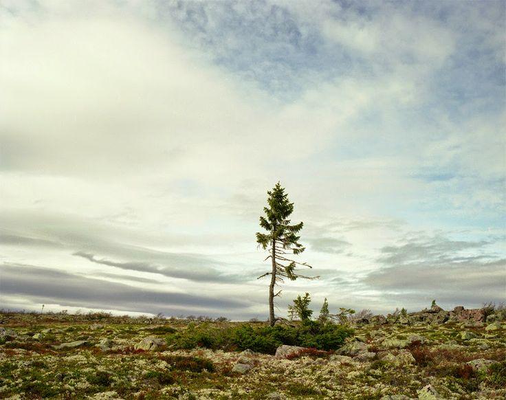 Old Tjikko is a 9,550-year-old Norway Spruce tree, located on Fulufjället Mountain of Dalarna province in Sweden. Old Tjikko is the world's oldest known living individual clonal tree -Old Tjikko. El árbol más antiguo del mundo, una Picea abies que se encuentra en Dalarna (Suecia). Su parte aérea tiene unos 600 años y sus raíces unos 9.550 años.