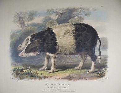 Old English Breed. Old English Sow, from the Midland Counties. | Sanders of Oxford