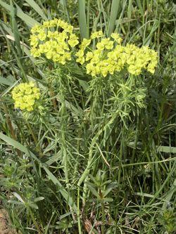 pryšec chvojka - Euphorbia cyparissias | Květena České republiky - plané…