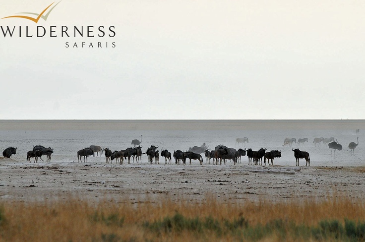 Andersson's Camp - Located in central-northern Namibia, Etosha National Park takes its name from the world-famous Etosha Pan - one of a number of large saltpans formed by wind action in this flat region. An evocative remnant of an ancient superlake, Etosha means 'great white place' in the local language, a name befitting the blinding white salt bleached earth that stretches over 120km east to west and 55km north to south. #Safari #Africa #Namibia #WildernessSafaris