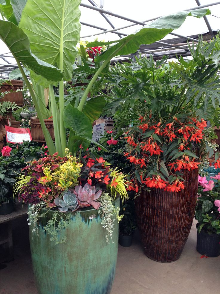 17 best images about tropical outdoor plants on pinterest gardens container gardening and - Tropical container garden ...