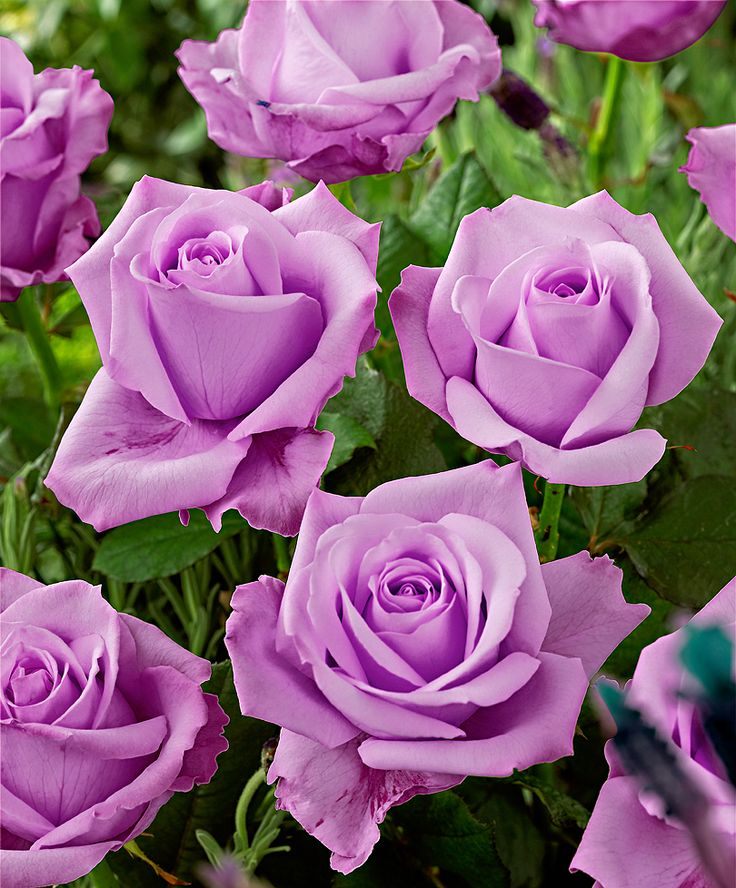 Rose 'Stirling Silver'. Pretty please? We didn't get a rose last year... we need two this year!