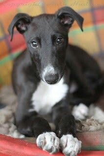 44 best Greyhound Puppies images on Pinterest | Greyhounds ...