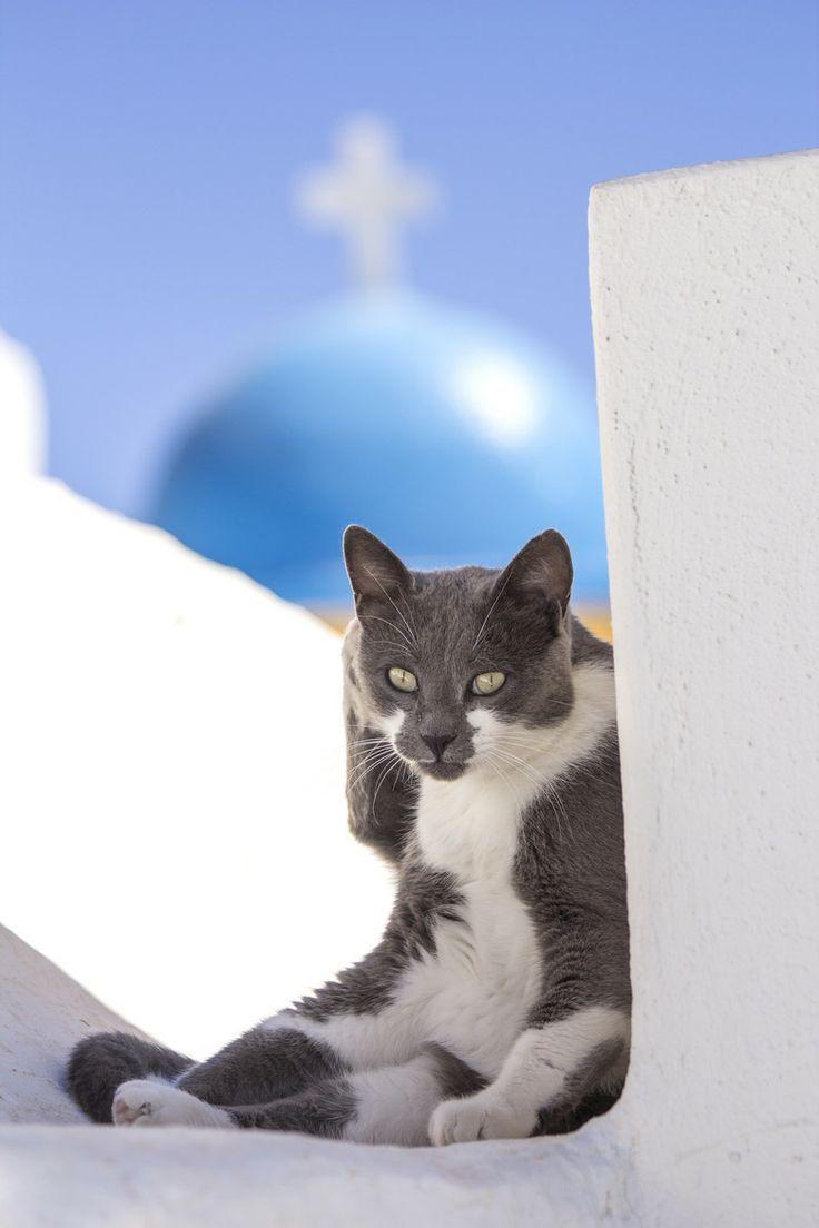 A Santorini Cat in Oia