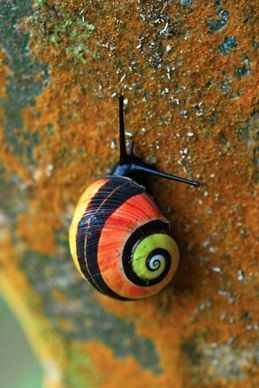 """Polymita picta, common name the """"Cuban land snail"""" or the """"painted snail"""", is a species of large, air-breathing land snail, a terrestrial pulmonate gastropod mollusk in the family Helminthoglyptidae.[1]  The shell of this species is large, shiny and brightly colored. The species has numerous color varieties. These shells are sought after by poachers and used to make jewelry and trinkets. As a result, the species has become endangered."""