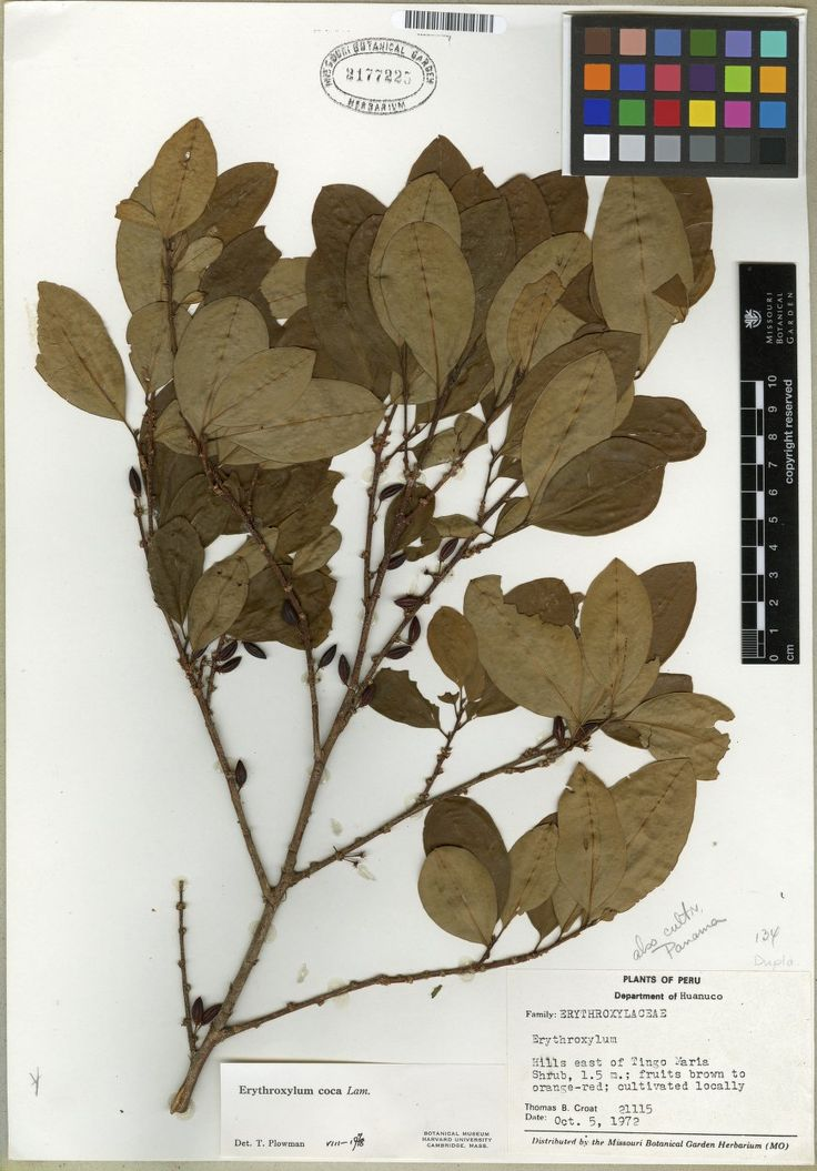 Name	Erythroxylum coca Lam.  Specimen	Croat, Thomas Bernard - 21115  Short Description	  Long Description	  Image Kind	Herbarium Specimen  Bar Code	MO-1060146