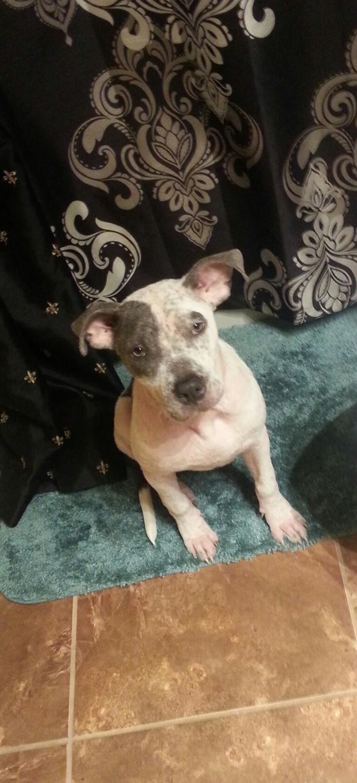 Katherine is an adoptable Pit Bull Terrier searching for a forever family near lake charles, LA. Use Petfinder to find adoptable pets in your area.