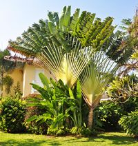 traveler's palm tree: I love this type of palm tree!!!