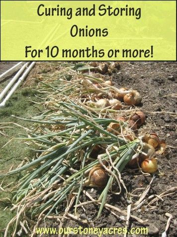 Curing and Storing Onions for 10 months or more!