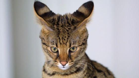 Uno studio americano dimostra che i felini possono apprezzare la musica, quando è composta pensando specificamente al loro sistema sensoriale, utilizzando ad esempio suoni scelti nell'ottava in cui miagolano, e ritmi che seguono quello delle fusa