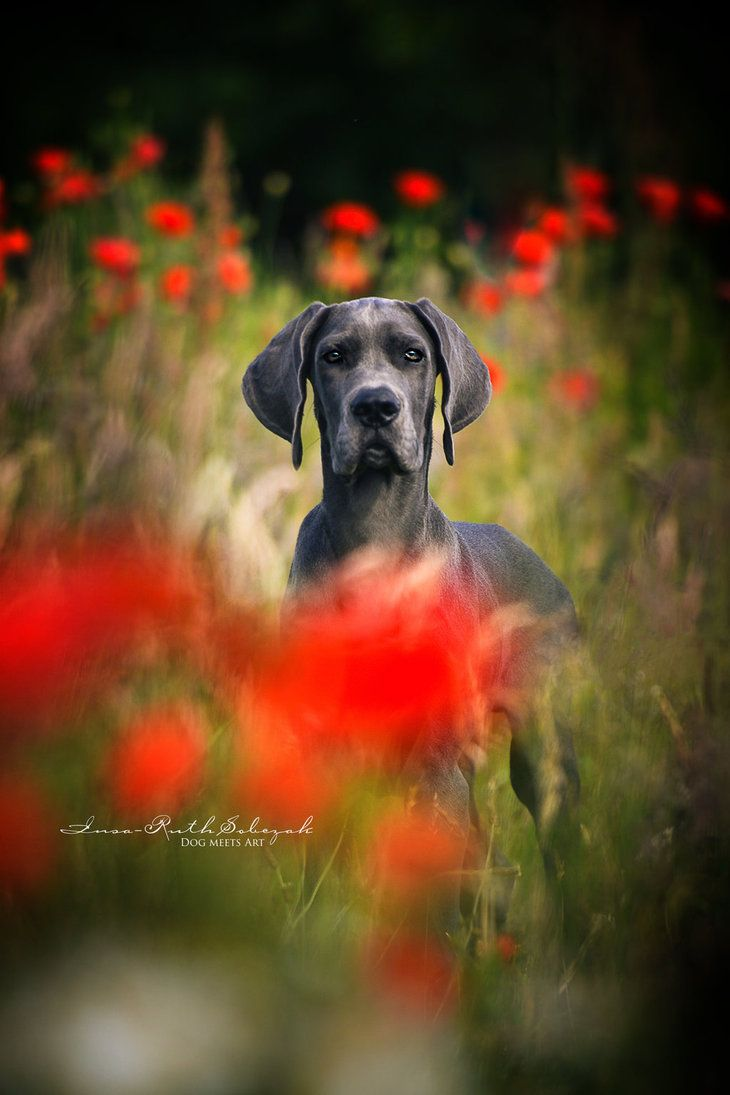 Great Dane Peek a boo by Inside-my-ART.deviantart.com