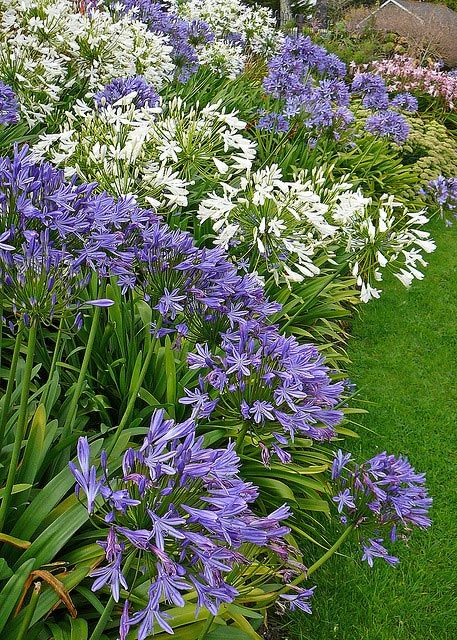 I love Agapanthus. Saw them everywhere in Cornwall - looked stunning. They don't look quite as good as this in my garden- yet!